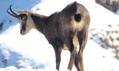 Gamsblindheit schwächt Wildtierpopulationen; Bildquelle: René Gadient