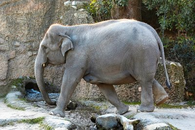 Elefantenkuh Farha; Bildquelle: Zoo Zürich, Enzo Franchini