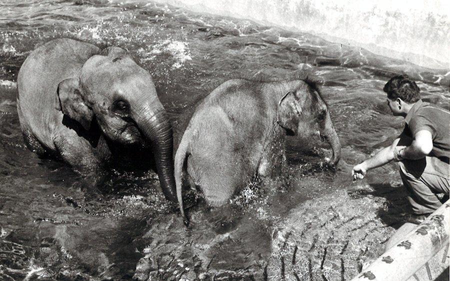 Die noch sehr junge Druk (r.) und Chhukha (l.) mit ihrem langjährigen Tierpfleger Ruedi Tanner im Zoo Zürich