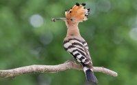 """Der Wiedehopf ist von der Schweizer Bevölkerung zum """"Atlasvogel"""" und damit zum Maskottchen für den Brutvogelatlas 2013�2016 gewählt worden; Bildquelle: Marcel Burkhardt"""