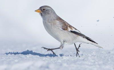Schneesperling ; Bildquelle: Marcel Burkhardt