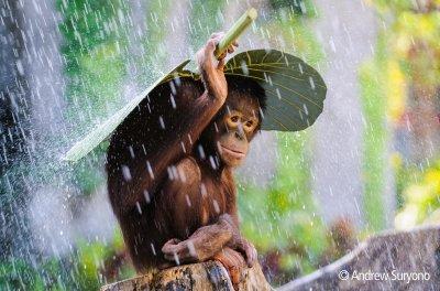 Orangutan im indonesischen Regenwald; Bildquelle: Andrew Suryono