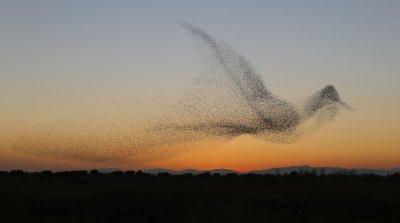 Gesamtsieger des Fotowettbewerbs 2017 der Schweizerischen Vogelwarte: Ein wogender Starenschwarm, der die Form eines gigantischen Vogels annimmt. ; Bildquelle: Daniel Biber