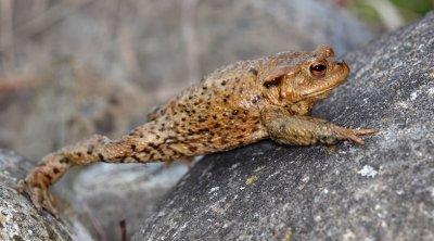 Erdkröte auf Wanderung; Bildquelle: Jan Ryser