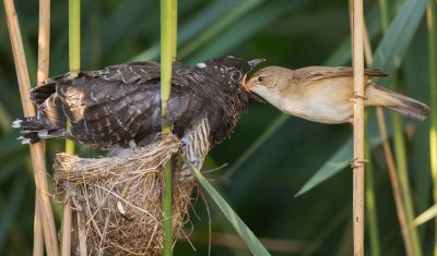 Ein junger Kuckuck wird von einem Teichrohrsänger gefüttert, einem häufigen Wirtsvogel in der Schweiz. Er überragt seine Adoptiveltern dabei um ein Vielfaches! ; Bildquelle: Oliver Richter