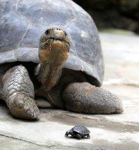 Grössenvergleich: Nigrita mit Jungtier; Bildquelle: Zoo Zürich, Samuel Furrer