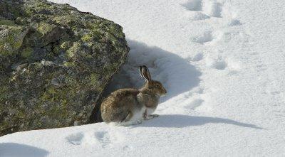 Schneehase im Fellwechsel. Schmilzt der Schnee mit dem Klimawandel immer früher, sind die Hasen häufiger mit der «falschen» Fellfarbe unterwegs und eine leichter Beute für Raubtiere.; Bildquelle: Rolf Giger