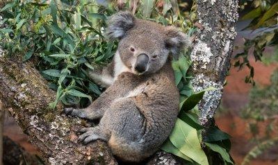 Koala; Bildquelle: Nikon, Jean-Luc Grossmann